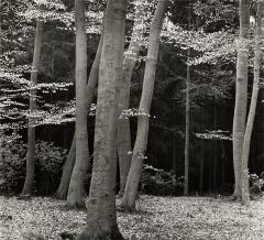 Beech Forest, Netherlands, 1971