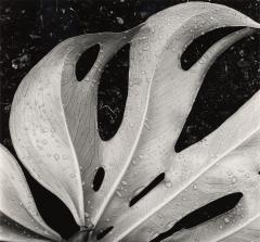 Leaf, Hawaii, 1979