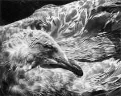 Dead Seagull, Sea Ranch, California, 1974