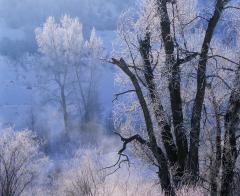 Trees Frosted by River Stream, Utah, 1988