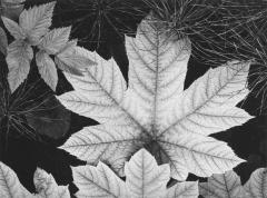 Leaf, Glacier Bay National Monument, Alaska, 1948